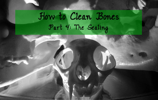 how to clean bones tutorial part 4 sealing