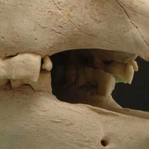 Horse skull wolf teeth