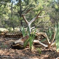 dead mountain deer