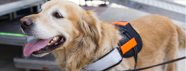A golden retriever in a service dog vest.
