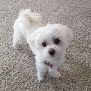DIY Maltese Puppy Cut