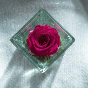 rosa stabilizzata di color fucsia in cubo di vetro su tessuto bianco