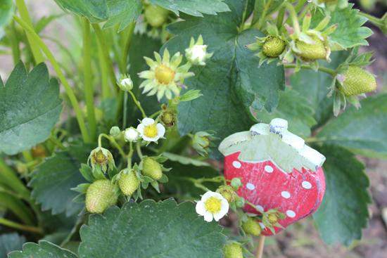 Erdbeere Garten Grün Natur Kinder Waldorf Kräuter Blumen
