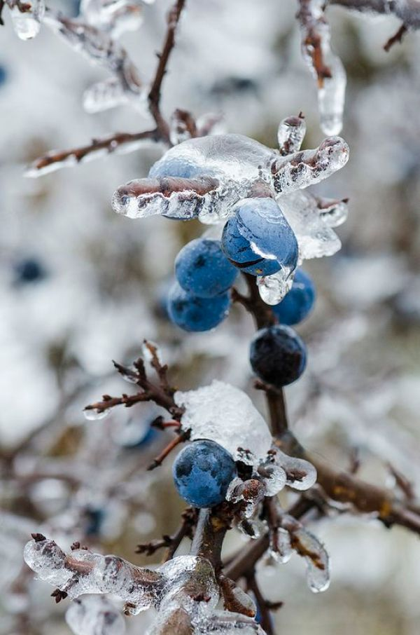Winter Photography Inspiration - Winter Berries | https://www.roseclearfield.com