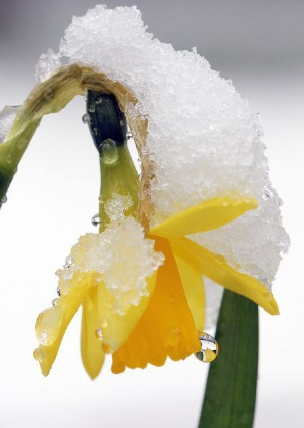 Early Spring Inspiration - Spring daffodil after snow by Jim Higham https://www.flickr.com/photos/jimhigham/8586772702/ | http://www.roseclearfield.com
