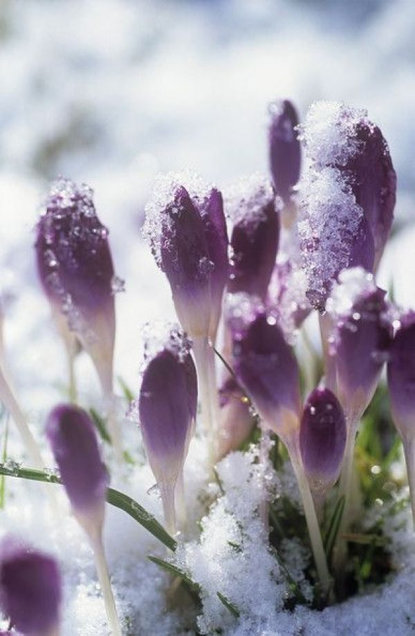 Early Spring Inspiration - Purple flowers in the snow. | http://www.roseclearfield.com