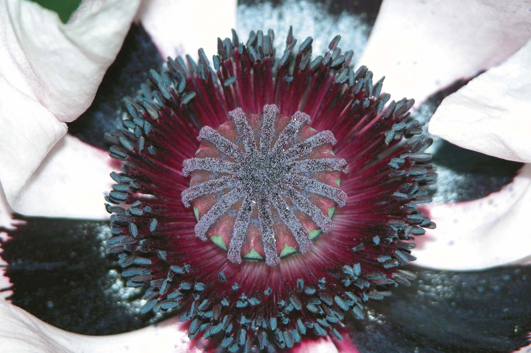 Physical Atomic Cellular Evolution™ photo of poppy center, black, white, maroon