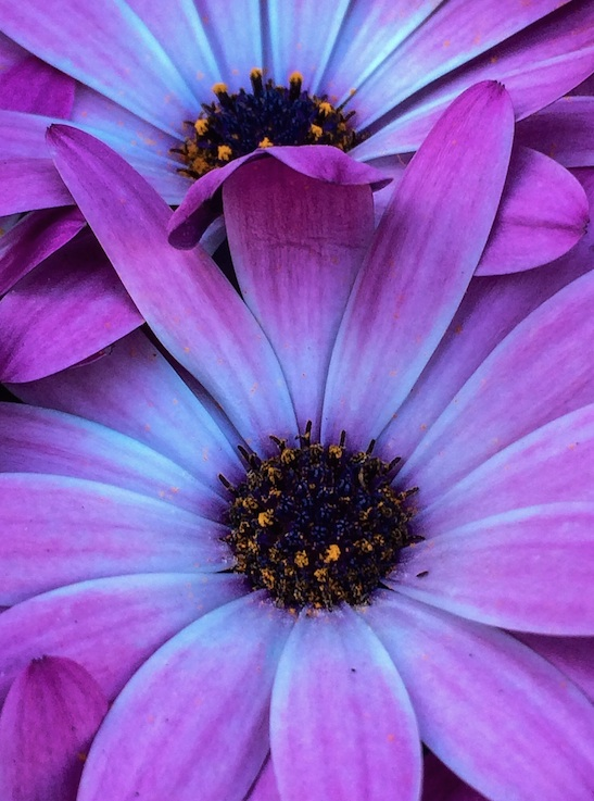 Relationship photo of violet flowers with their petals intertwined