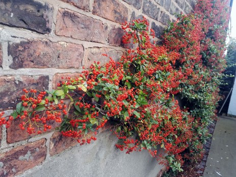 The Pyracantha is full of berries, I wonder how long they last before the birds start to nibble on their autumn feast?