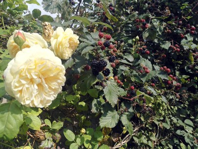 The David Austin Roses have been a picture this year, and the scent fills the late summer air...