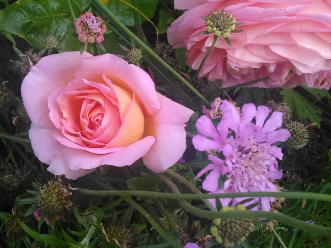 Roses (my favourites) and Scabious