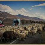hundreds of sheep are driven down a highway in Armenia