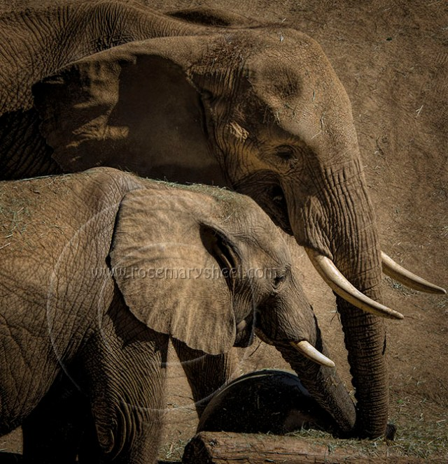 elephants with tusks in beautiful tones of sepia