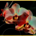fantastically colored orchids on black background