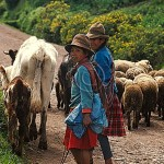 Peruvian girl and her mother take their livestock to pasture in the mountains