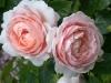 Ambridge Rose®, David Austin 1990_710