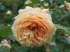 Crown Princess Margareta® (Auswinter)®