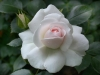 Aspirin Rose®, Tantau, 1997