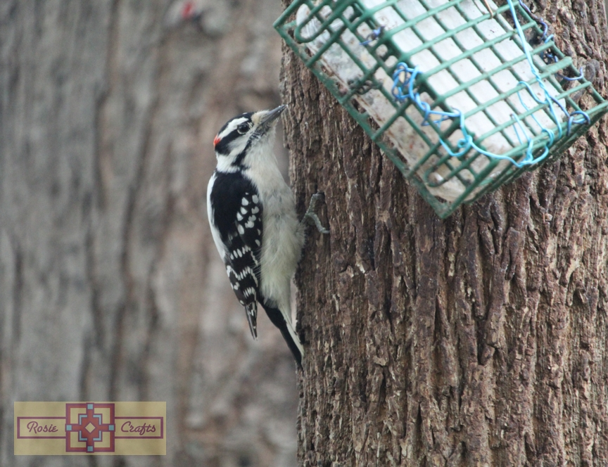 Rosie Crafts Male Downy Woodpecker Photography