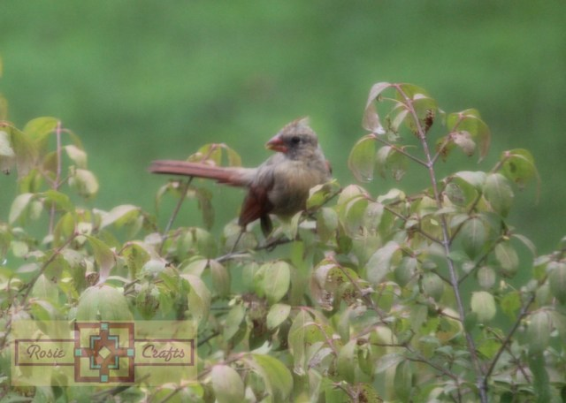 Rosie Crafts Female Cardinal In Bush Photography