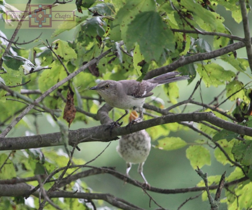Rosie Crafts Baby & Mom Great American Mockingbird Photography