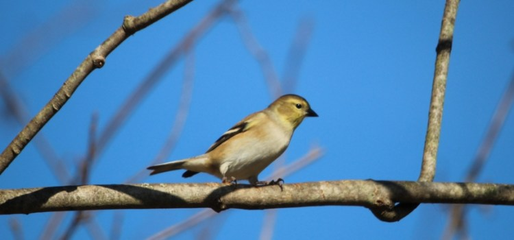 Rosie Crafts Female Yellow Goldfinch Bird Perching in Tree Photography