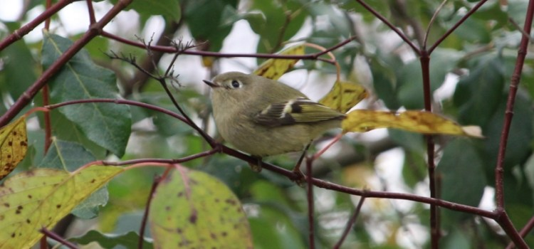 Rosie Crafts Acadian Flycatcher Bird Photography