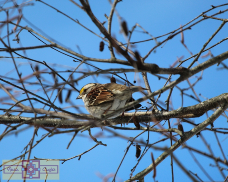 Rosie Crafts White Throated Sparrow Perched In Birch Tree Photography