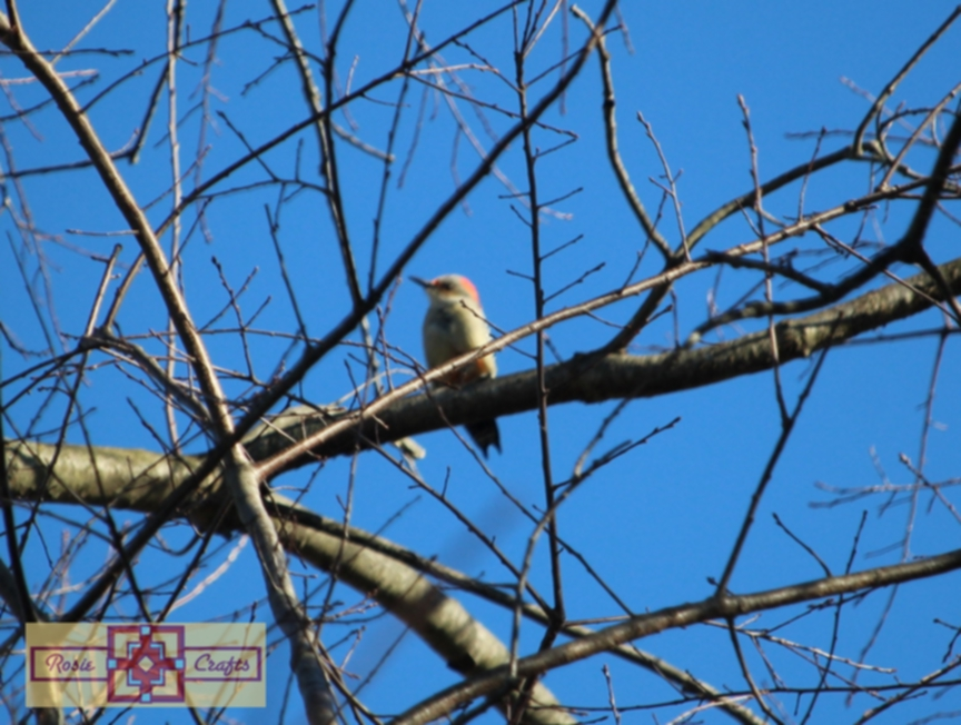 Rosie Crafts Baby Male Red Bellied Woodpecker Photography