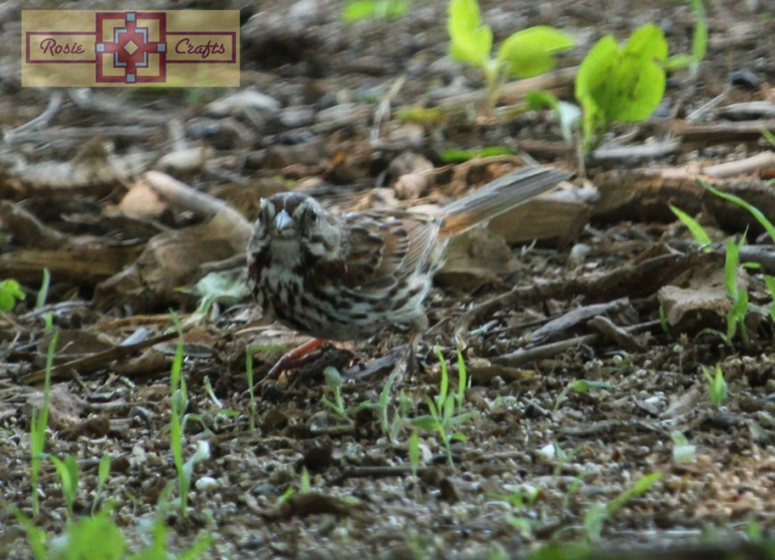 Rosie Crafts White Throated Sparrow Photography