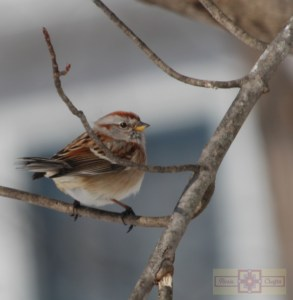 Rosie Crafts Male House Sparrow Bird Perched on Tree Branch Photography
