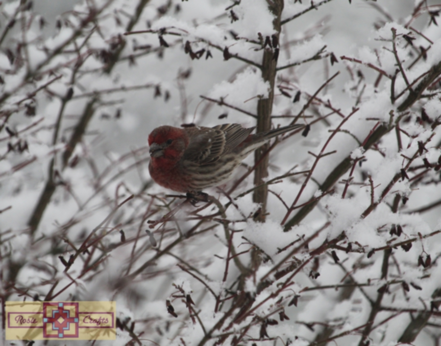 Rosie Crafts Finch Bird Perched on Snowy White Berry Bush Photography