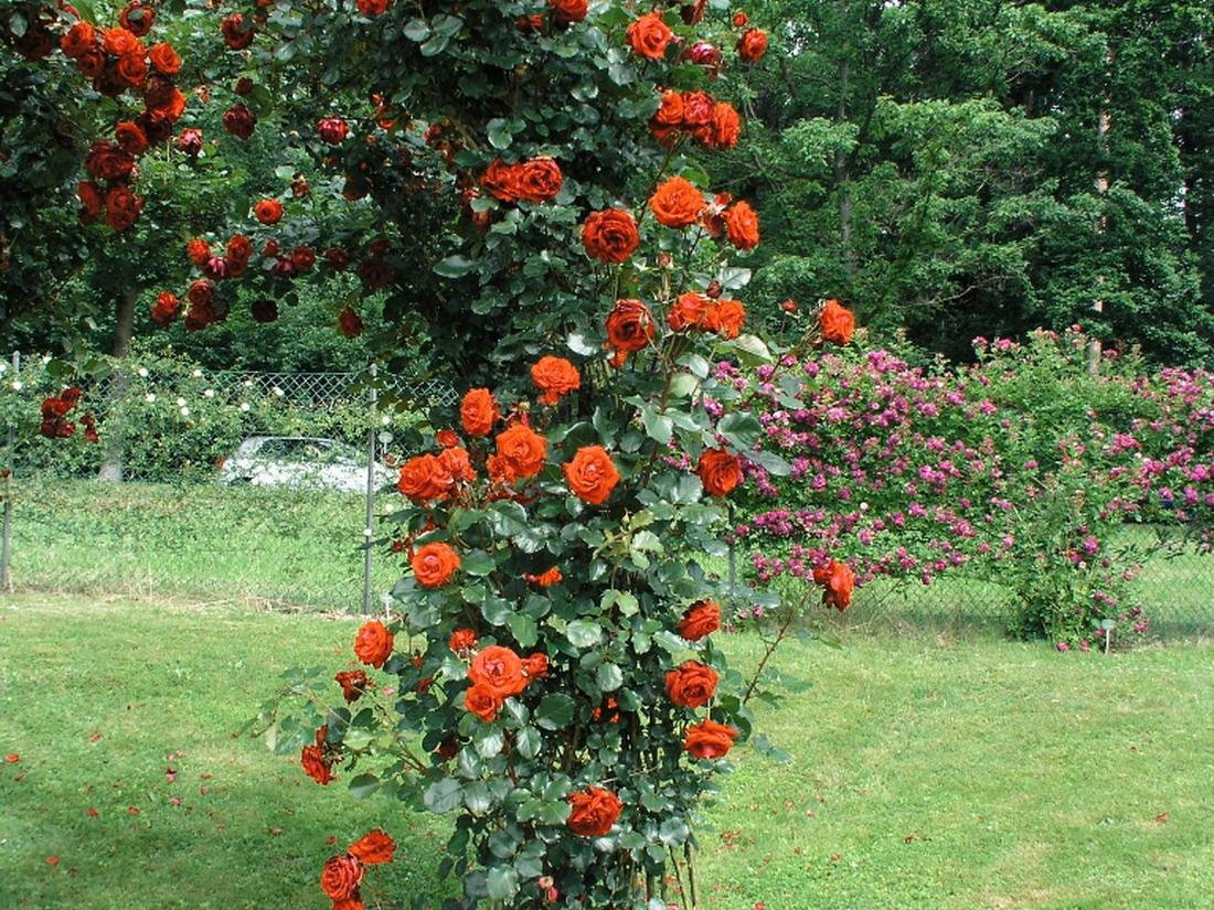 vente rosier perpignan