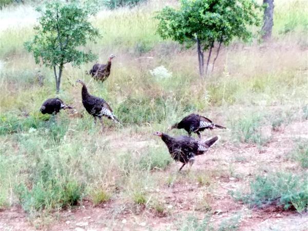 Wild Turkeys Arriving 1