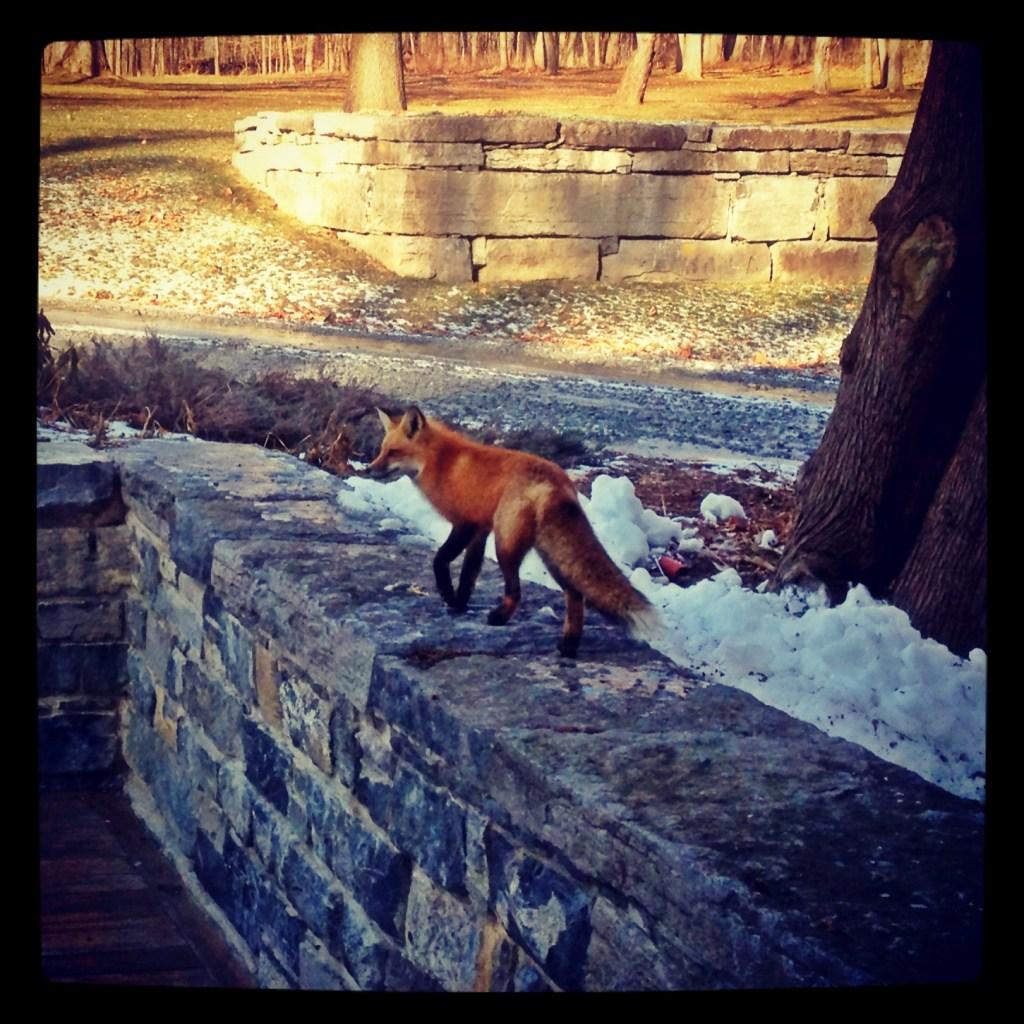 The Fox (Source: Geo Davis)