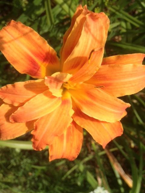 Layered Orange Day Lily
