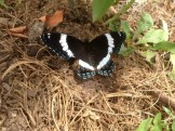 I saw this tuxedo'ed butterfly resting beneath a blueberry bush.