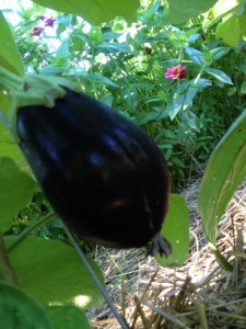 Deep purple (almost black) eggplant enjoying the shade.