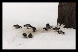 Cold Snap Duck Huddle