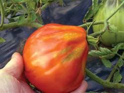 Cuore di Bue Tomato