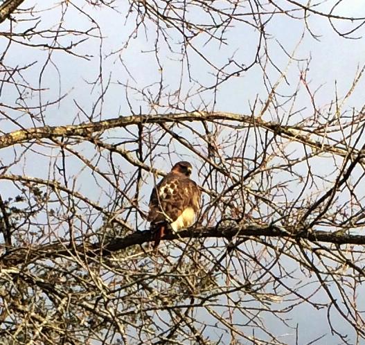 Enormous hawk hunting in Rosslyn's back meadows.