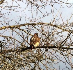 Enormous hawk hunting in Rosslyn's back meadows.
