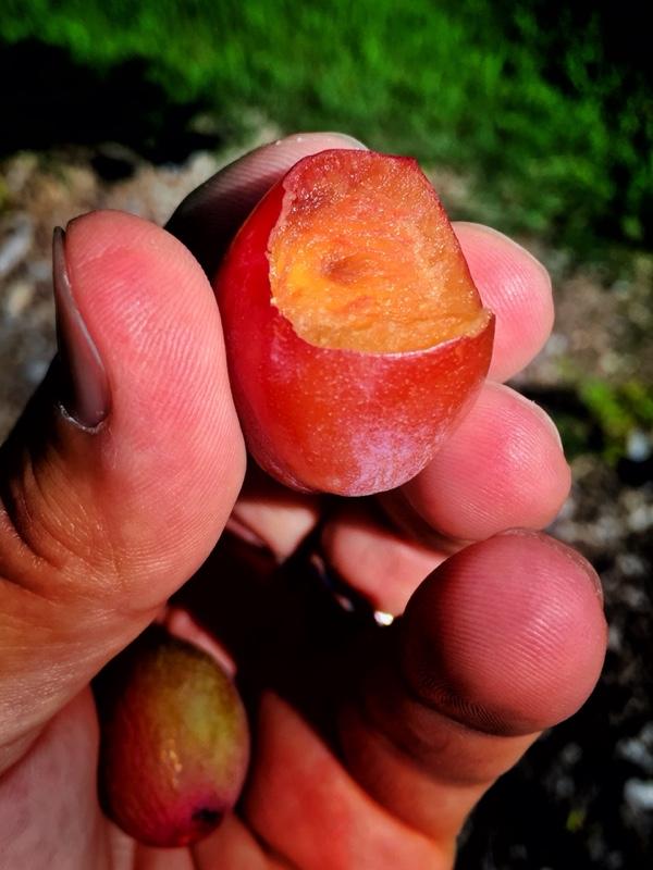 Plum Premature Fruit Drop: Rosslyn orchard, July 15, 2015