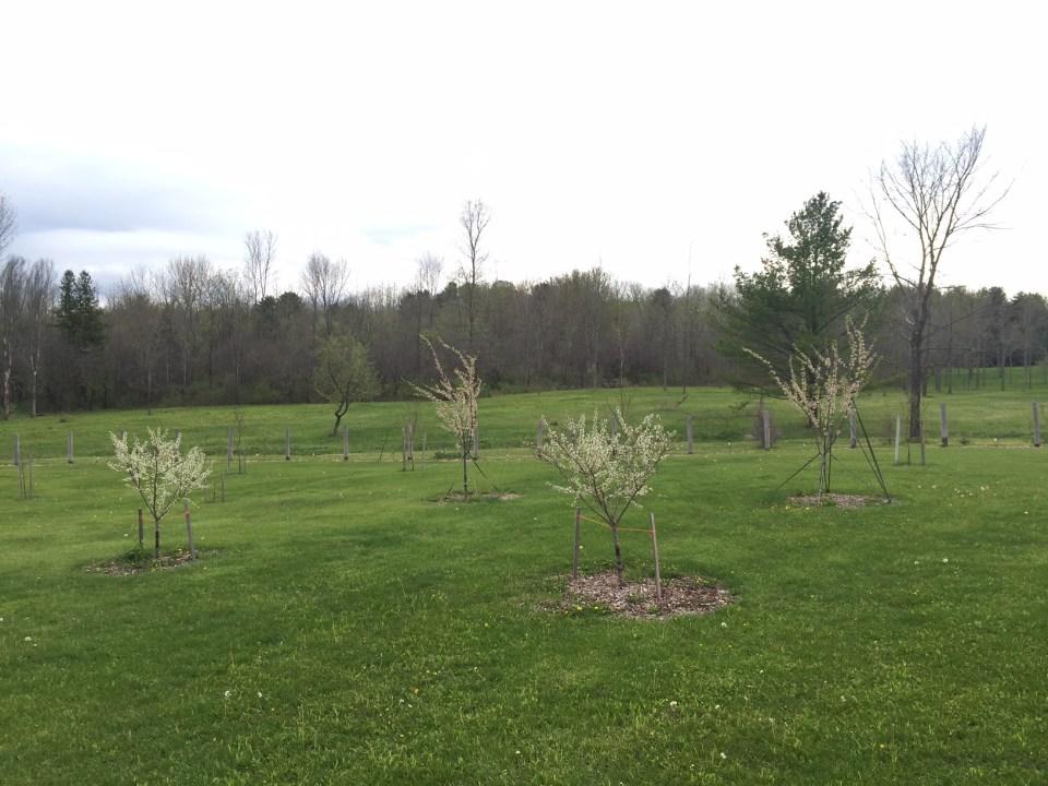 Organic Plum Trees in Bloom, Spring 2016