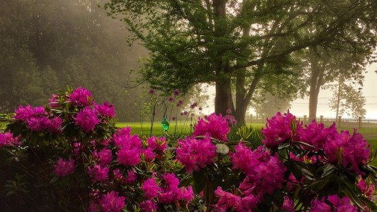 Spring Blooms: rhododendron blossoms after rain, rain, rain... (Source: Geo Davis)