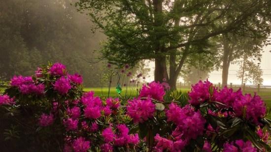 Spring Blooms: rhododendron blossoms after rain, rain, rain... (Source: Geo Davis)
