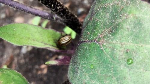 Colorado Potato Beetle on Eggplant Leaf (Source: Geo Davis)