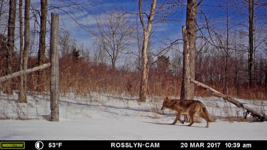 Spring Dance 2017: coyote crossing trail camera during spring 2017 (Source: Geo Davis)