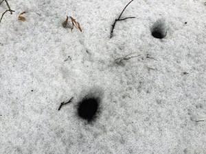 Lots and lots of snow fleas (Springtails) in December 2017 (Source: Geo Davis)
