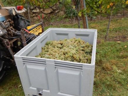 400 kg Trauben werden pro Kiste gelesen